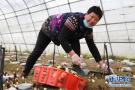 河北新河:种植合作社带动农民增收致富