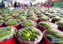滦州:黄瓜丰收采摘忙